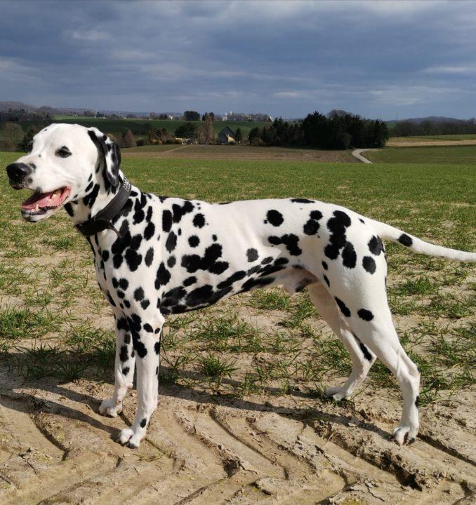 hunde-motivation-dalmata